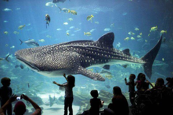 Georgia-Aquarium-requin-baleine